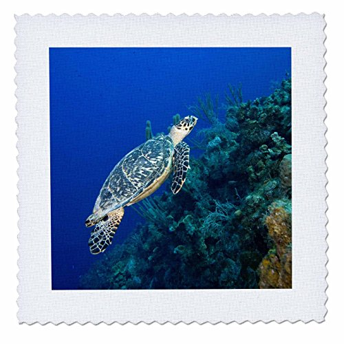 3dRose qs_74847_6 Cayman Islands, Hawksbill Sea Turtle and Coral Reef-CA42 PSO0091-Paul Souders-Quilt Square, 16 by 16-Inch