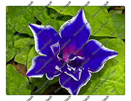 Amazon com : 200pcs/bag Picotee Blue Morning Glory seeds
