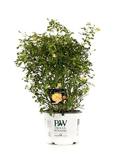 3 Gal. Oso Easy Lemon Zest Landscape Rose (Rosa) Live Shrub, Yellow Flowers by Proven Winners (Image #9)