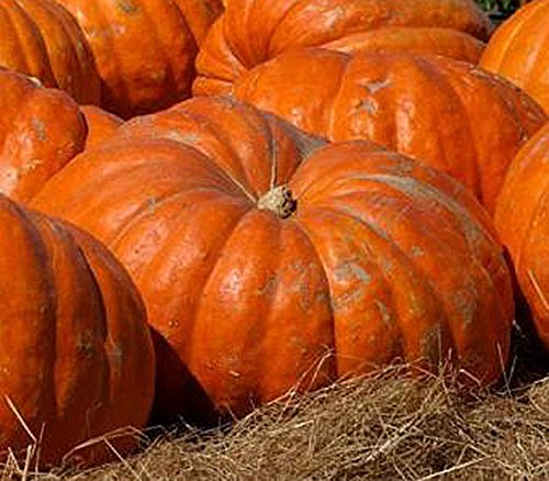 Atlantic Giant Pumpkin Seeds - These Are the Record Breaking Pumpkins!