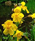 YELLOW MONKEY FLOWER, 157+ SEEDS, MIMULUS GUTTATUS, PRETTY IN SHADE OR SUN