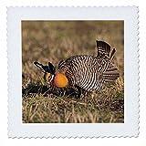 3dRose Danita Delimont - Birds - Greater Prairie Chicken displaying on lek, Prairie Ridge, Illinois - 20x20 inch quilt square (qs_279000_8)