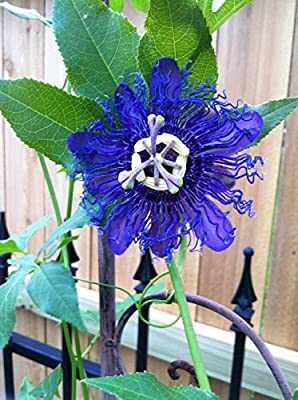 10 Seeds Blue Passion Flower Passiflora Tropical Climbing Seed Plumeria Exotic