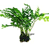 Product review for Water Fern Bolbitis Heudelotii Live Aquarium Plant Fresh Water Plants by Greenpro