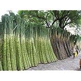 HATCHMATIC Seeds Package: Sugar-Cane Seeds Rum Syrup Sweet Rock Sugar Crystals Seed