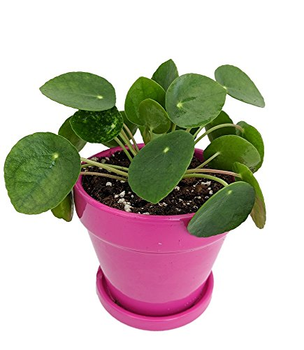 Chinese Money Plant -Pass It On Plant- Pilea peperomioides-4