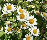 FEVERFEW MATRICARIA Tanacetum Parthenium Bulk Flower Seeds