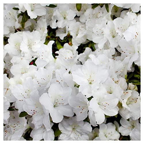Azalea Hybrid - Delaware Valley White Azalea (Azalea x 'Delaware Valley White' (Glenn Dale Hybrid))