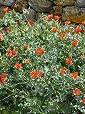 Glaucium flavum Auranticum 250 seeds