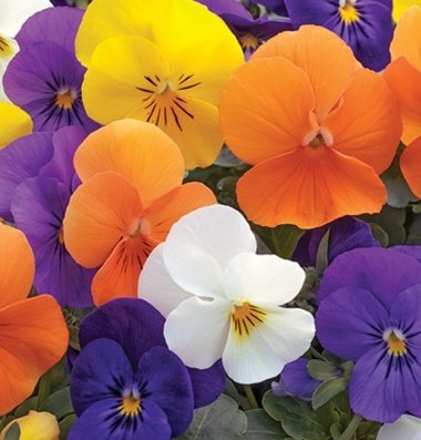 Viola Flower (David's Garden Seeds Flower Viola Penny All Season Mix (Edible) D1828VI (Multi) 50 Hybrid Seeds)