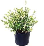 Green Promise Farms -  Salix `Hakaro Nishiki' (Dappled Willow)Shrub,  #3 -Size Container