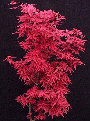 Skeeters Broom Dwarf Japanese Maple - 1 Year Live Plant