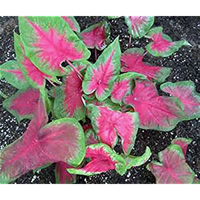 CALADIUM, BULB, PINK, PACK OF 10 (TEN), EASY TO GROW, COLORFUL MIX, HOSTA BULBS : Garden & Outdoor