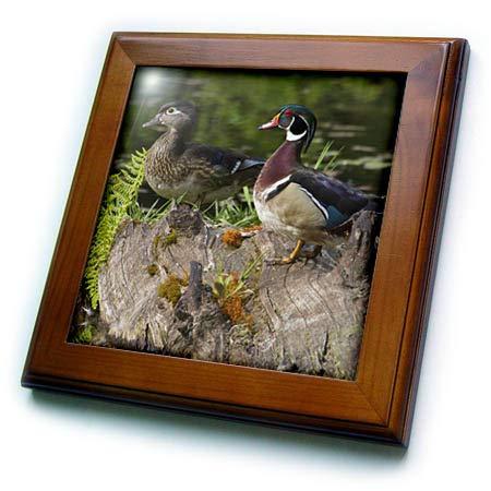 - 3dRose Danita Delimont - Ducks - Wood Duck Pair - 8x8 Framed Tile (ft_313996_1)