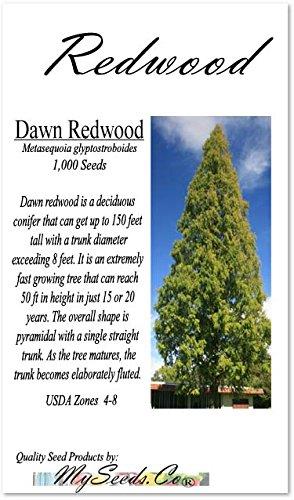 (Big Pack - (1,000) Dawn Redwood Tree Seeds - Metasequoia glyptostroboides - by MySeeds.Co (Big Pack - Dawn Redwood))