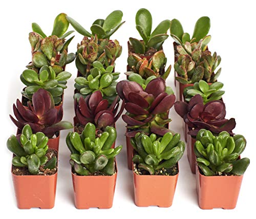 """Shop Succulents Live Jade Succulent Plants in 2"""" Grower Pots, Hand Selected, Ideal for Home Décor or Wedding Events 