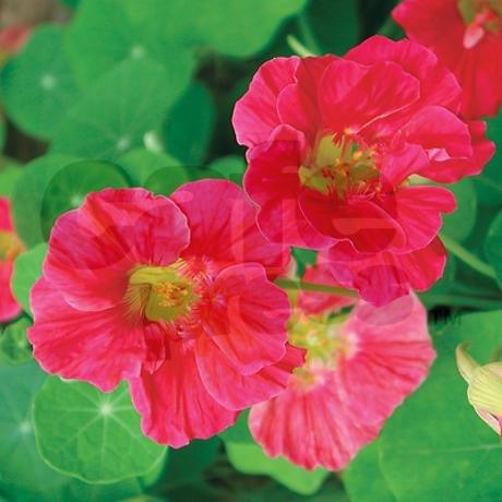 Nasturtium Cherry Rose - 6
