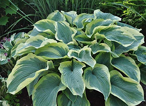 1 Plant American Halo Hosta Northern Halo Established Roots in 1 Quart Pot Leaves Planting by plants growtion (Image #1)