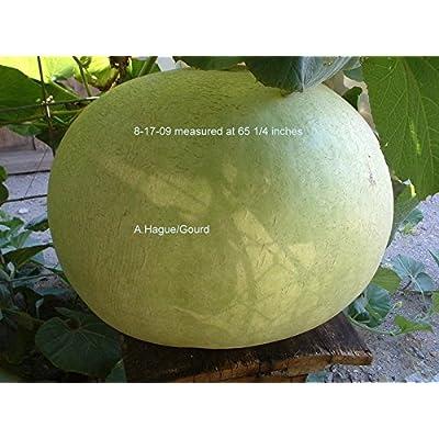 Bushel Basket Gourd, Lagenaria siceraria, 5 Seeds : Garden & Outdoor