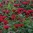 Outsidepride Monarda Didyma Red Shades - 250 Seeds