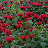Outsidepride Monarda Didyma Red Shades - 250 Seeds
