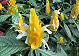 Golden shrimp plant a subtropical soft stemmed evergreen shrub 36 inches tall .: Pachystachys lutea