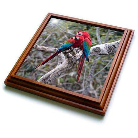 3dRose Danita Delimont - Parrots - Brazil, Mato Grosso do Sul, Jardim, A pair of red and green macaws. - 8x8 Trivet with 6x6 ceramic tile -