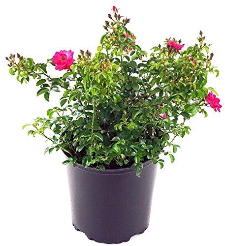 Pink Supreme Flower Carpet Rose, pink flowering rose in 2 Gallon - Flower Pink Carpet Rose