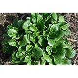 Valerianella Locusta Corn Salad Seeds Vegetables Organic from Ukraine 1 Gram