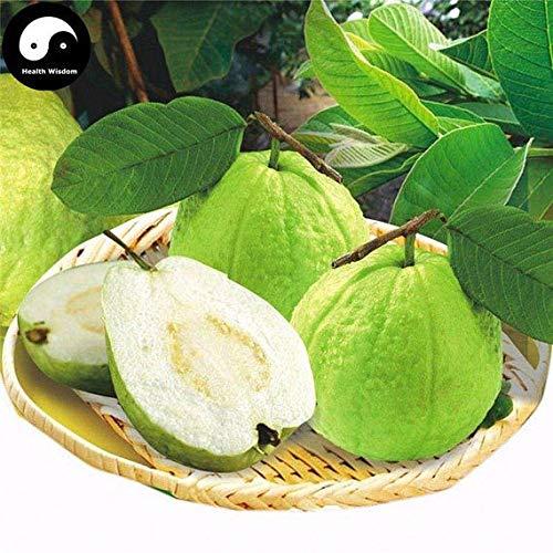 60pcs: Buy Real Guava Fruit Tree Seeds Plant Fruit psidium guajava Grow Fan shi liu by SVI (Image #1)