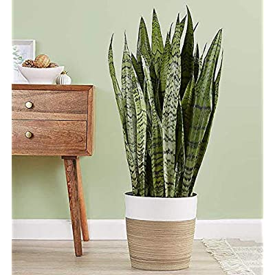 Tropical Plants of Florida Sanseveria Zeylancia 24 inches to 28 inches Plant Height 10 inch Pot (3 Gallon) : Garden & Outdoor