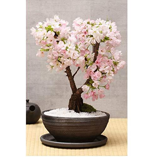 Fragrant Flowering Tree - 20 Seeds Cherry Blossom Seeds for Planting, Garden Home Bonsai Plants,Non-GMO Organic Seeds, Fragrant Miniature Tree Flower Planting Seeds