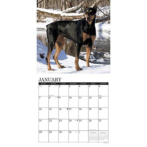 Doberman Pinschers 2018 Wall Calendar Photo #2