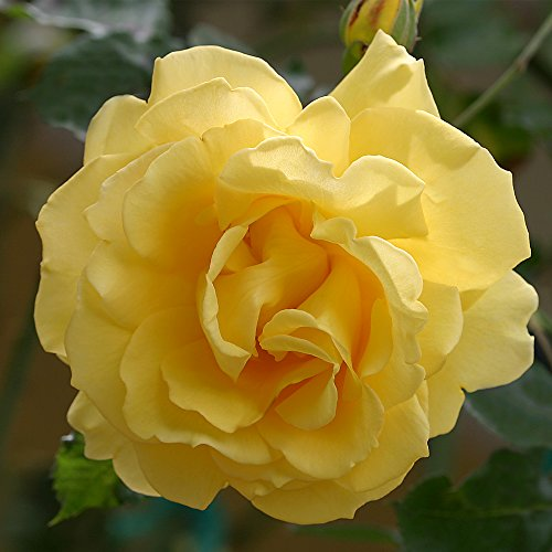 Own-Root One Gallon Gold Badge Climbing Rose by Heirloom Roses by Heirloom Roses (Image #1)