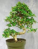 Large Bonsai Tree Fukien Tea GREAT