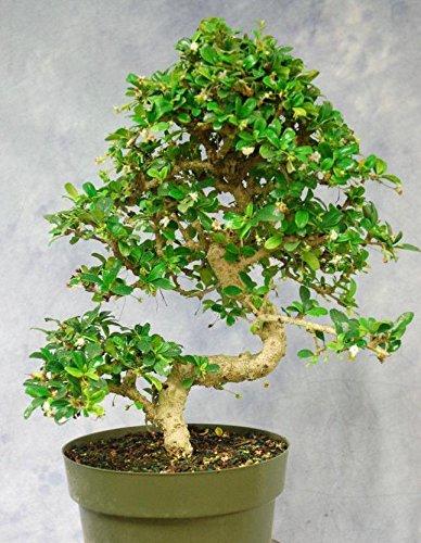 Large Bonsai Tree Fukien Tea GREAT