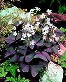 "Oxalis Triangularis - 20 Bulbs - Size 1""+"