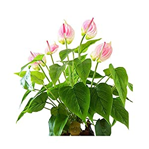 Sevem-D New Anthurium Bouquet (18Pcs Leaves+3Pcs Flowers +Roots) Touch Flower Wedding Flower Floral Party Table Flower 105