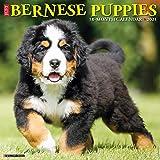 Just Bernese Mountain Puppies 2021 Wall Calendar (Dog Breed Calendar)
