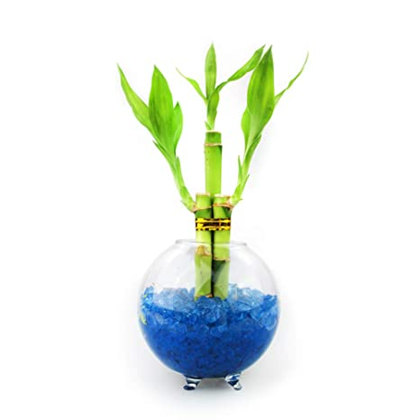 Amazon Com Nw Wholesaler Lucky Bamboo Live Indoor House Plant In