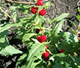 Spinach Strawberry Sticks Chenopodium Foliosum - 1,000 Bulk Seeds
