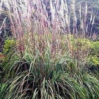 Outsidepride Plume Ornamental Grass - 250 Seeds