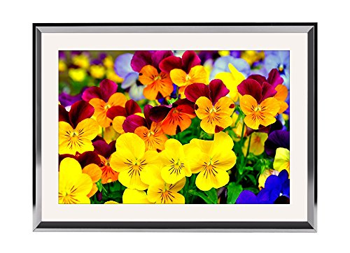 Pansy Flower Pictures (Pansy Flowers - Art Print Wall Silvery Wood Framed Picture(20x14inches))