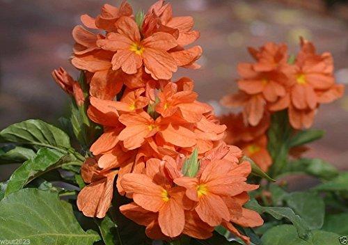 Crossandra Seeds,orange Marmalade -Firecracker Flower- Very Rare Tropical -