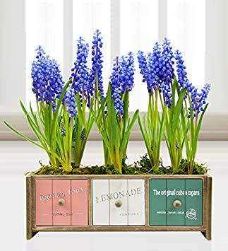 235 & Muscari Planter Bouquet - Mothers Day Plants - FREE Delivery ...