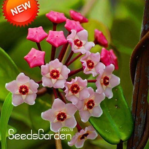 Más vendidos! Semillas verdes Hoya, en maceta de Semillas, Hoya carnosa semilla de flor del jardín plantas del jardín de DIY 100 partículas / paquete, # DJLXIE: Amazon.es: Jardín