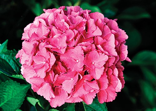 1 Gal. Cityline Venice Bigleaf Hydrangea (Macrophylla) Live Shrub, Pink, Blue and Green Flowers by Proven Winners (Image #4)