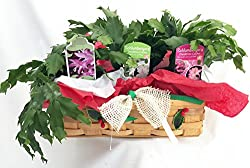 Christmas Cactus in Holiday Wicker Basket - 3 Different Colors - 10