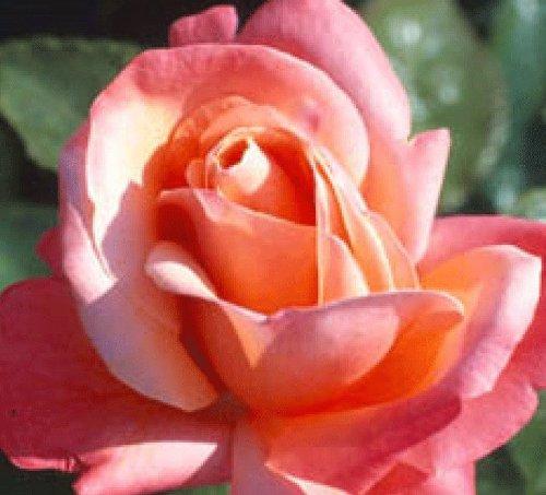 Rosa Bush Rose Hybrid Tea 'SILVER JUBILEE' Plant Imberhorne Lane Nursery