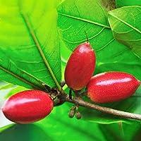 TENGGO Egrow 20pcs/Bolsa Synsepalum Semillas Synsepalum Dulcificum/Miracle Fruit Semillas Bonsai Tesoros Nacionales de…